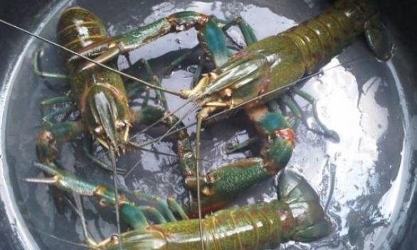 Hasil gambar untuk lobster air tawar