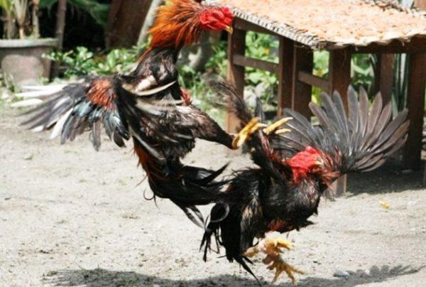 cara budidaya ayam aduan